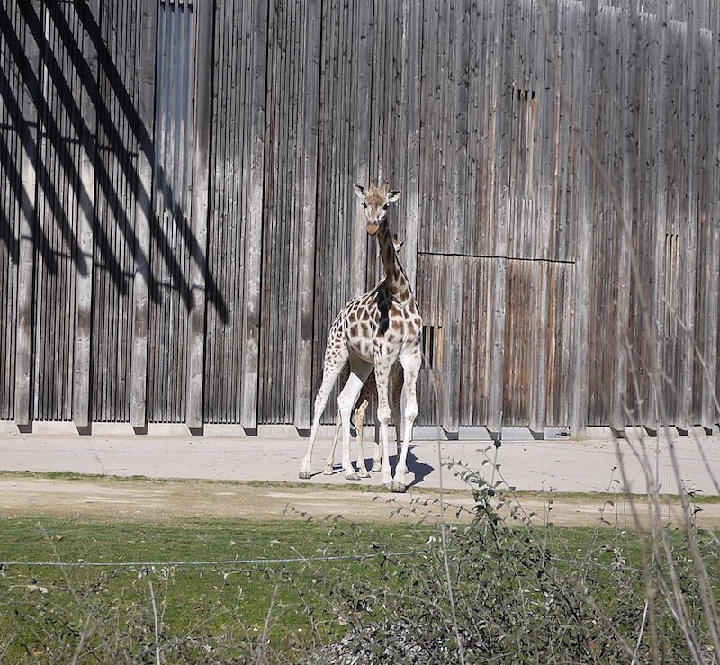 girafe lyon