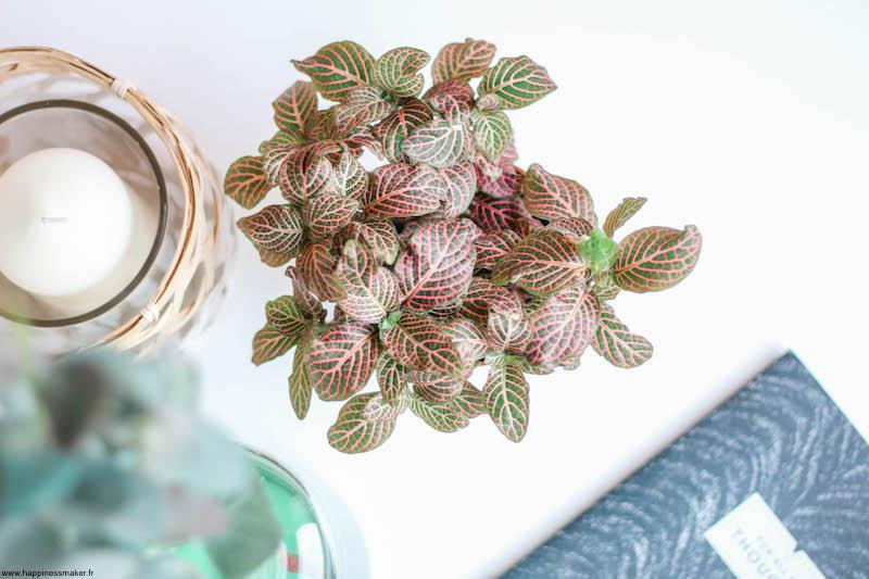 jolie plante déco fittonia