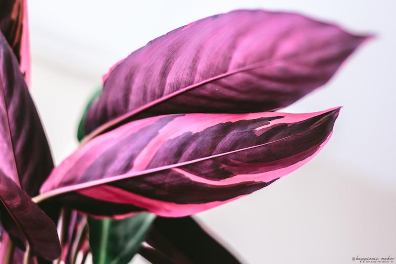 calathea triostar vue dessous des feuilles