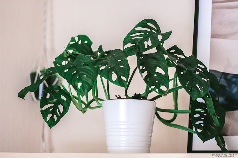 monstera monkey mask obliqua