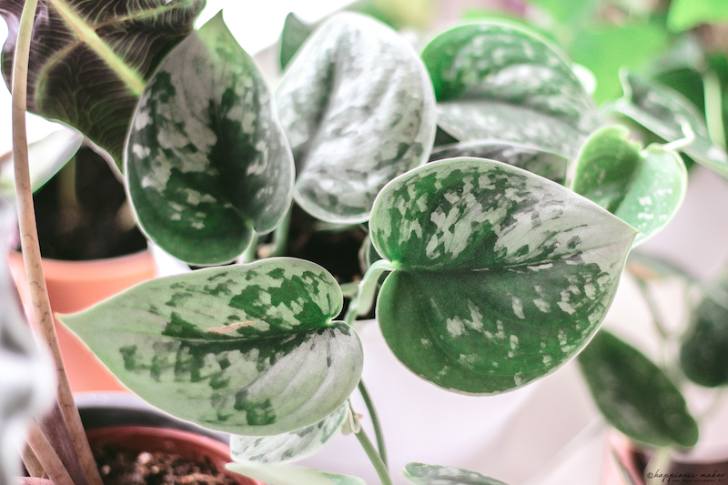 scindapsus pictus pothos argenté