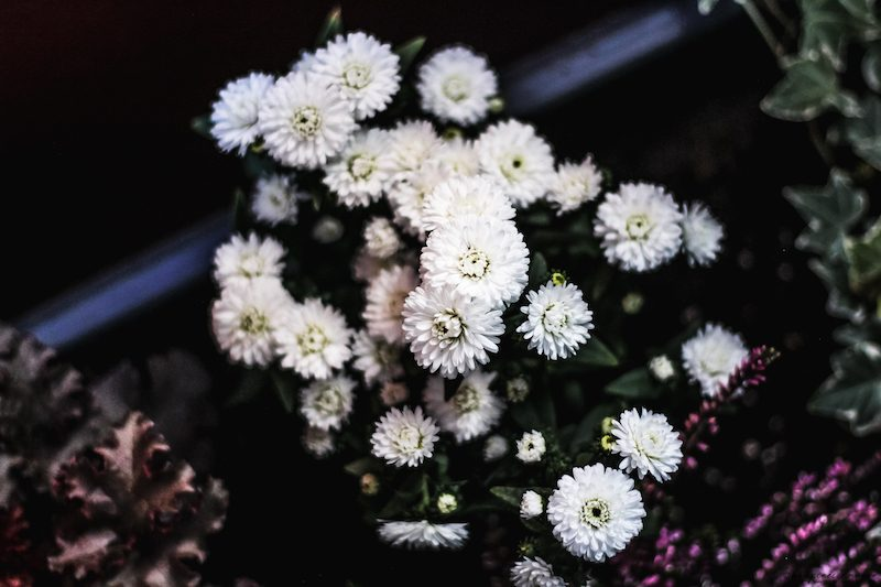 asters d'automne mystery lady jardiniere balcon