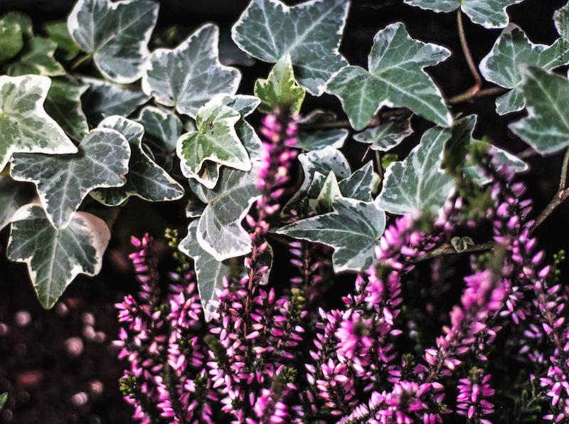 jardinière automne lierre bruyère