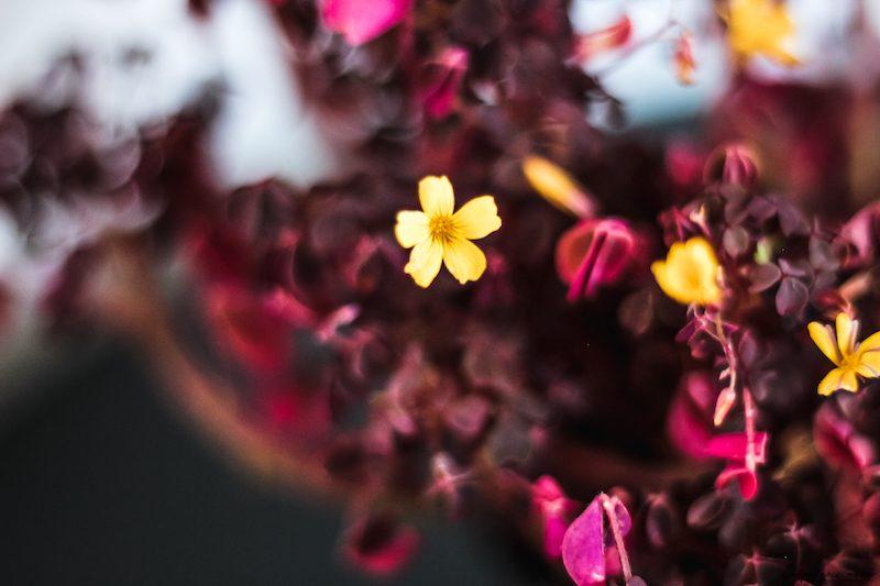 oxalis burgundy yellow balcon automne