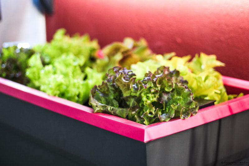 salades d'automne à planter
