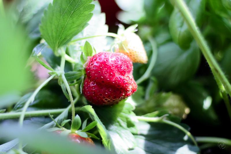 fraisiers sur balcon