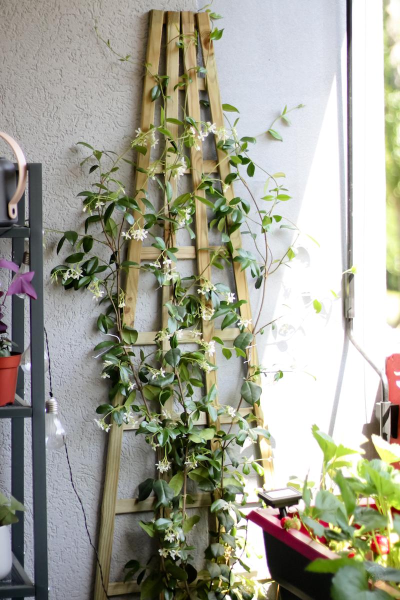 jasmin étoilé fleurs blanches en pot