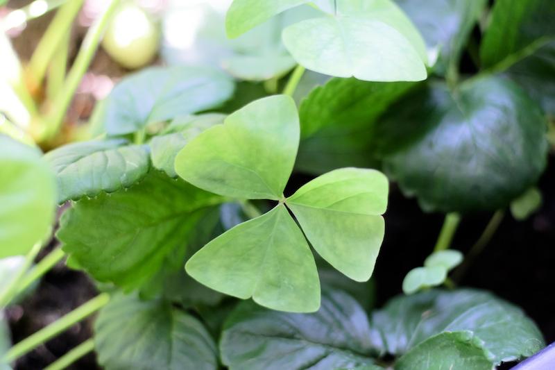 oxalis vert