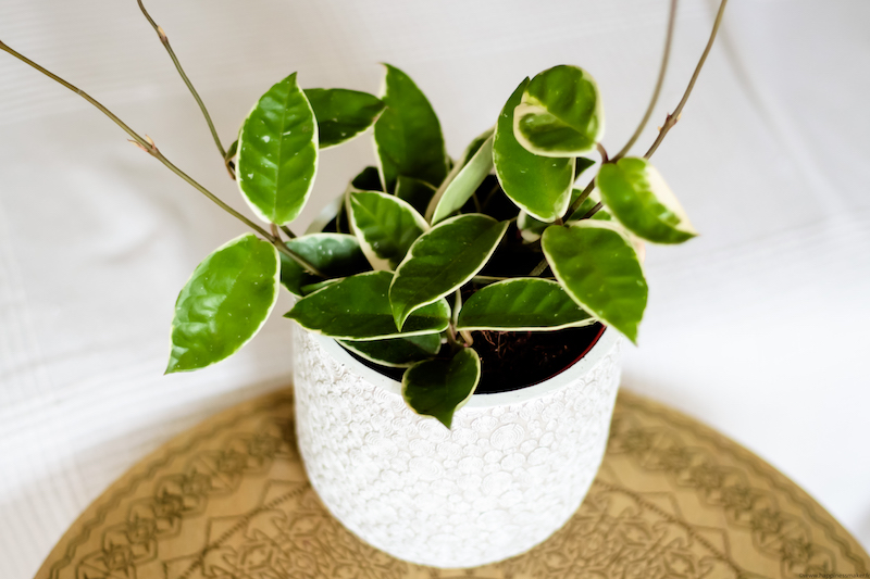 hoya plantes vertes facile