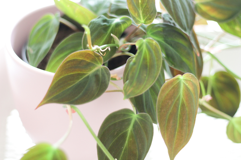 acheter philodendron micans