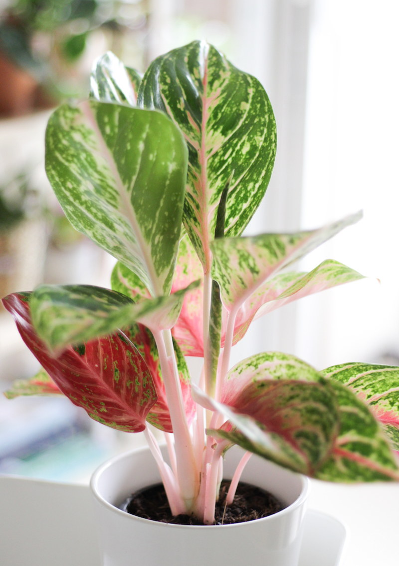aglaonema hybrid pink shopping