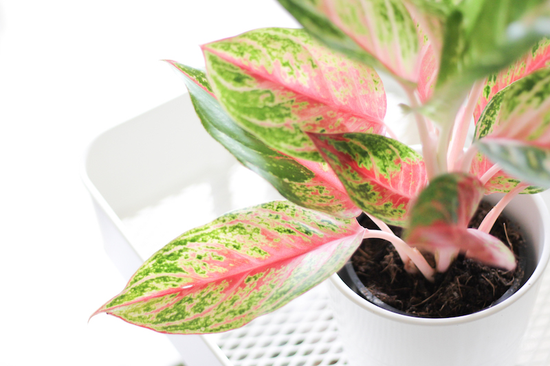 plant haul aglaonema rose